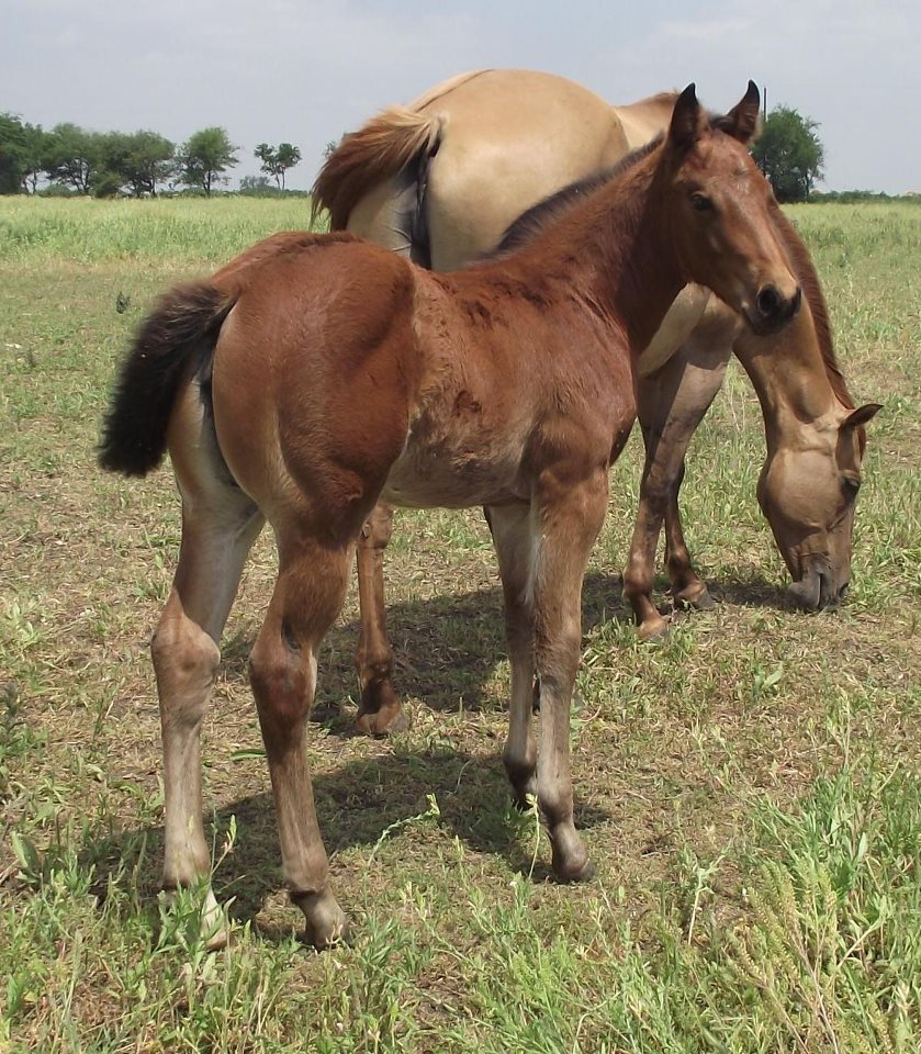 Blueberry Roan Horse